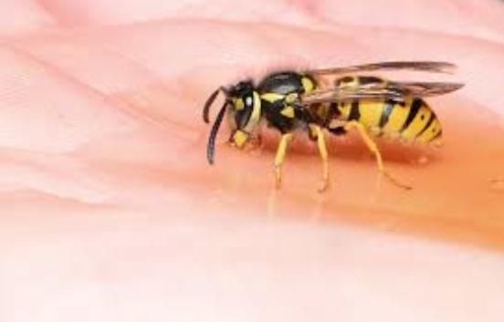 Wasps aren't as dangerous as you may think. They often mind their own business and only attack humans when threatened.