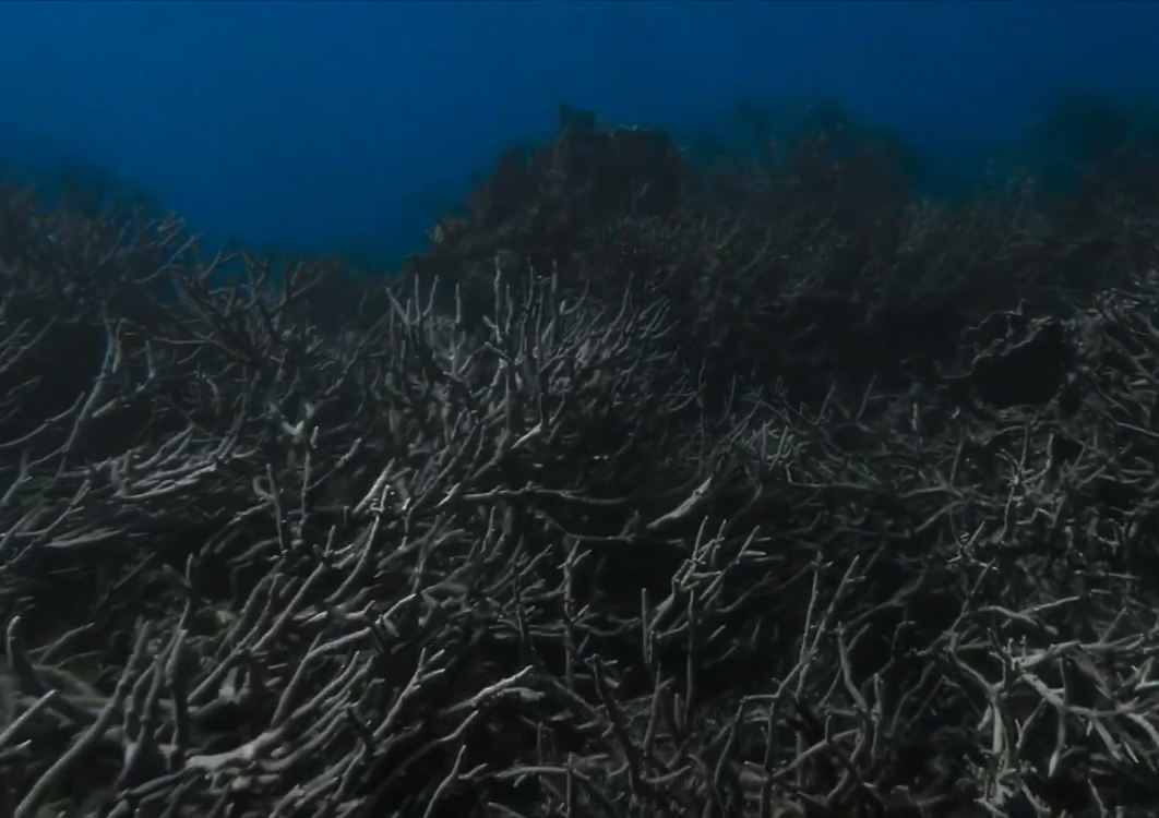 Coral reefs are losing the life inside of them as well as their once vibrant colors due to climate change rising the ocean temperatures.